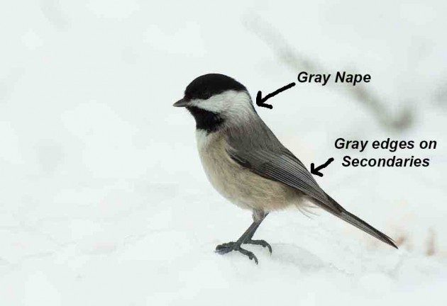 Birding Basics Chickadee Identification