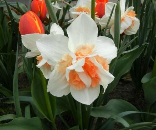 Daffodil_Tulips