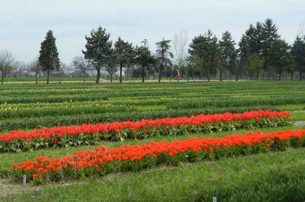 Field_of_Tulips