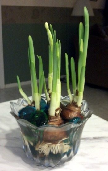 Growing Paperwhites Indoors 3