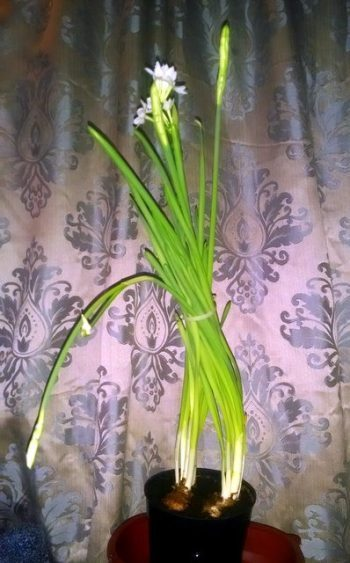 Growing Paperwhites Indoors