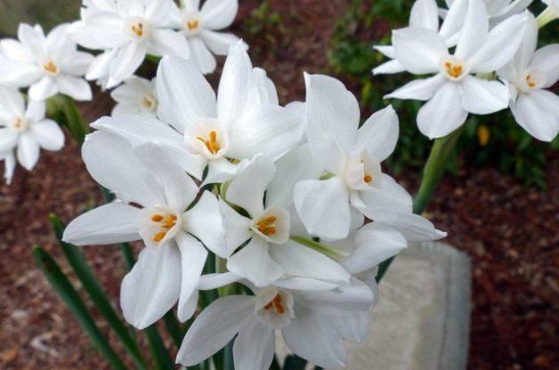 Growing Paperwhite flowers Indoors