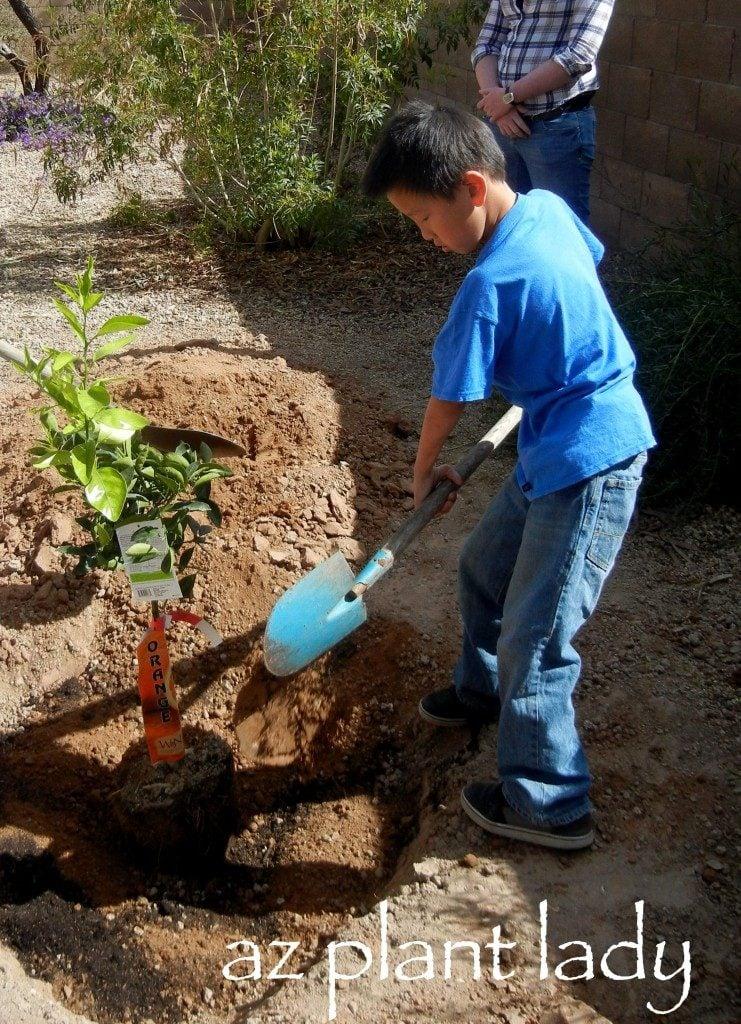 Planting Citrus Tree
