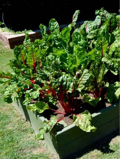 Swiss_Chard_vegetable_garden