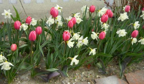 Tulips_Daffodils_1