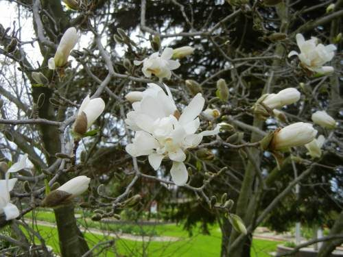 White_Magnolia_Blossoms