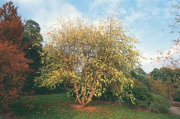 Fast Growing Trees - River birch