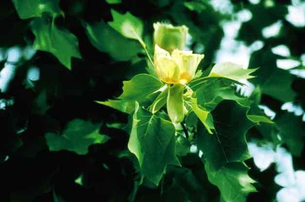 Fastest Growing Trees - Tulip Tree