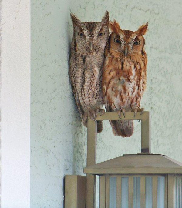 Friday Fun Photo: Screech Owls