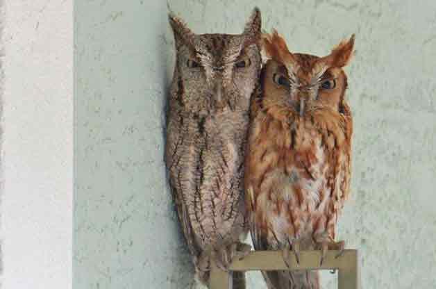 Friday Fun Photo: Eastern Screech Owls
