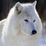 snowwolf57