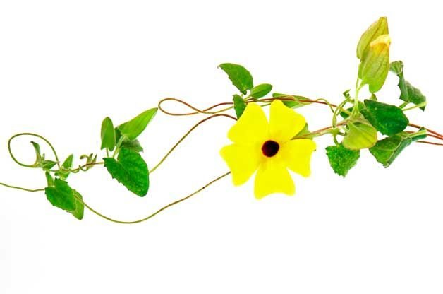 Flower Gardening with Fast Growing Vines:Black-Eyed Susan Vine