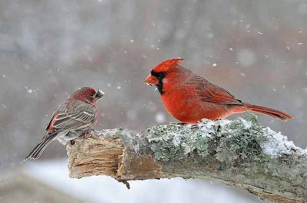 Birds in Winter: Cardinal and Finch in Snow