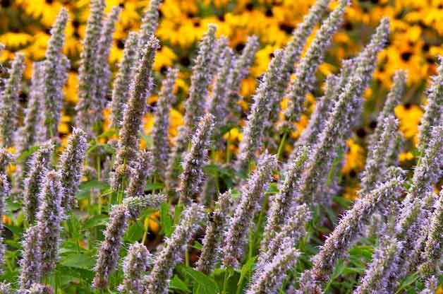 Top 10 Drought-Tolerant Plants: Agastache