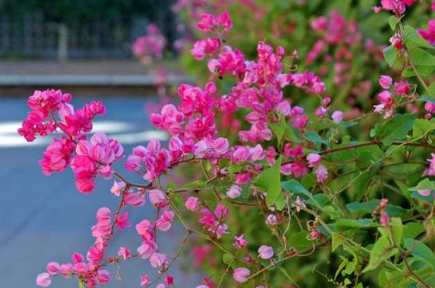 Queen Anne's Wreath (Antigonon leptopus)