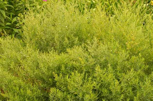Top 10 Drought-Tolerant Plants: Artemisia