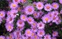 Top 10 Plants for Clay Soil: Aster