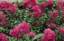Top 10 Plants for Sandy Soil: Crape Myrtle
