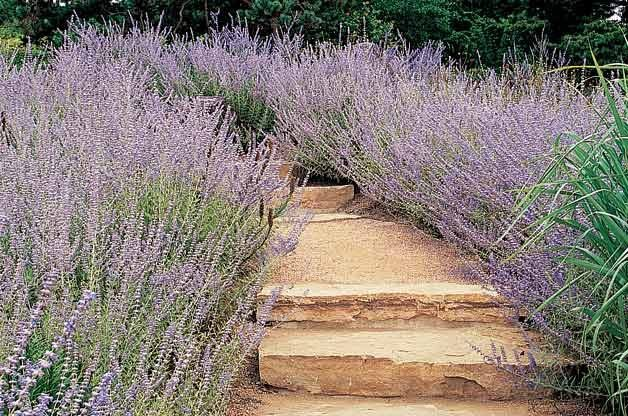 Top 10 Drought-Tolerant Plants: Russian Sage