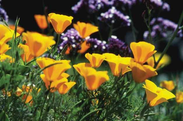 Top 10 Drought-Tolerant Plants: California Poppy