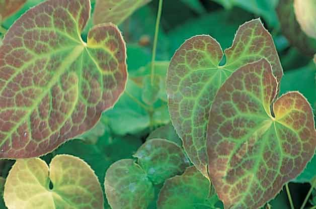 Grand Ground Cover Ideas: Barrenwort