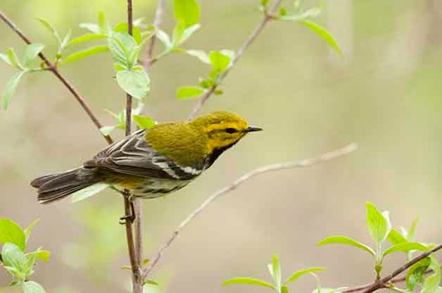 Black-throated Green Warbler Birding Locations
