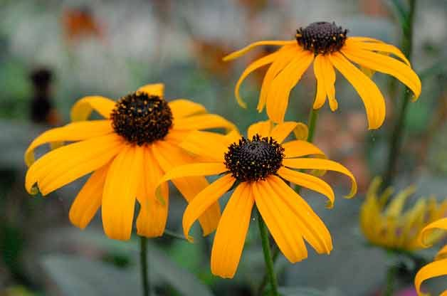 Top 10 Plants for Clay Soil: Black-Eyed Susan