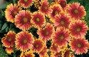 Top 10 Plants for Sandy Soil: Blanket Flower