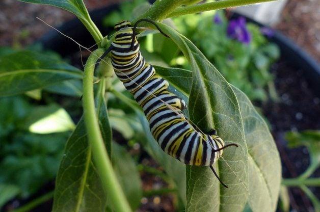 Butterfly Gardening Monarch