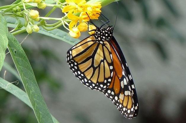 Butterfly Gardening Monarchs