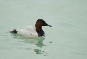 Pictures of Ducks: Canvasback