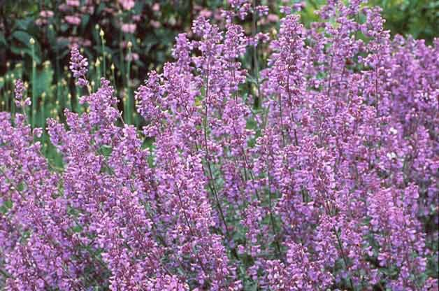 Top 10 Drought-Tolerant Plants: Catmint
