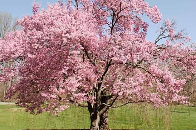 Flowering trees tree growing birds blooms for Flowering ornamental trees zone 5