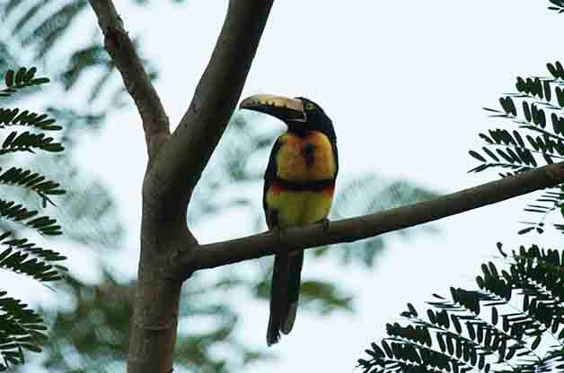 Collared Aracari The Lodge at Pico Bonito Birding Hotspots