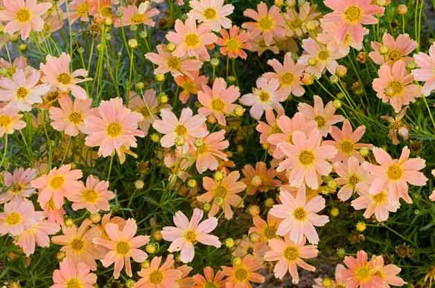 Top 10 Plants For Clay Soil Coreopsis