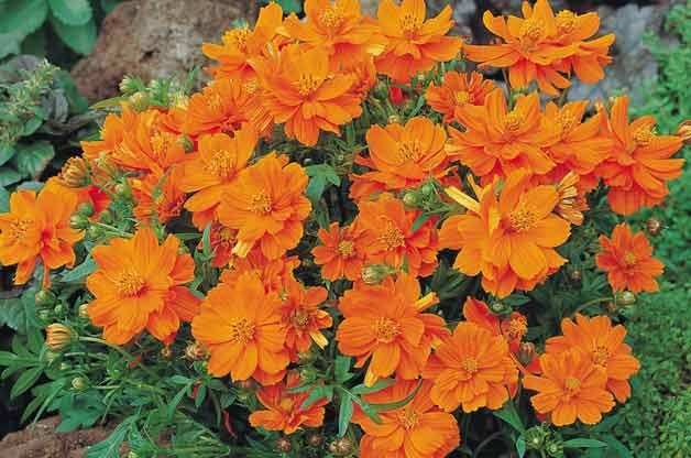 Top 10 Plants for Sandy Soil: Cosmos