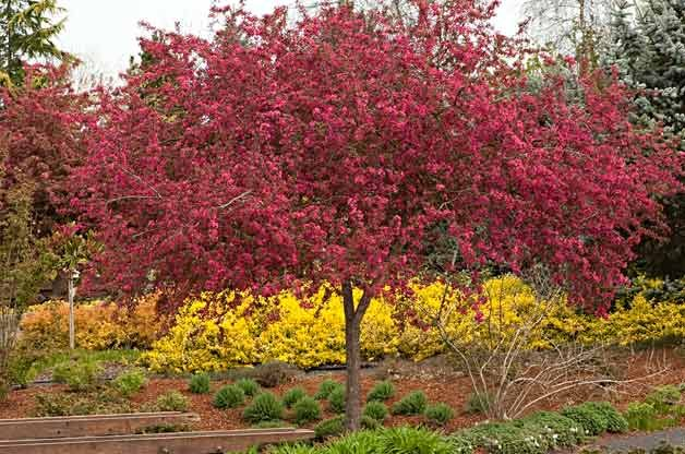 Flowering Trees for Your Backyard: Crabapple