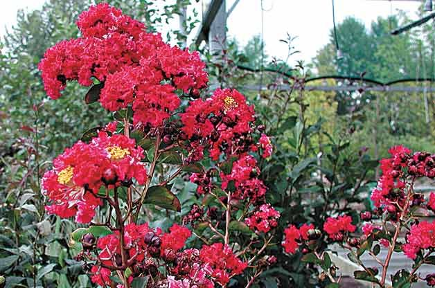 Flowering Trees for Your Backyard: Crape Myrtle