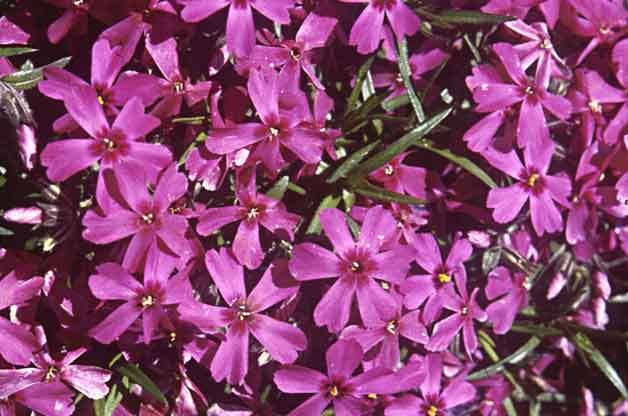 Grand Ground Cover Ideas: Creeping Phlox