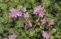 Grand Ground Cover Ideas: Creeping Thyme