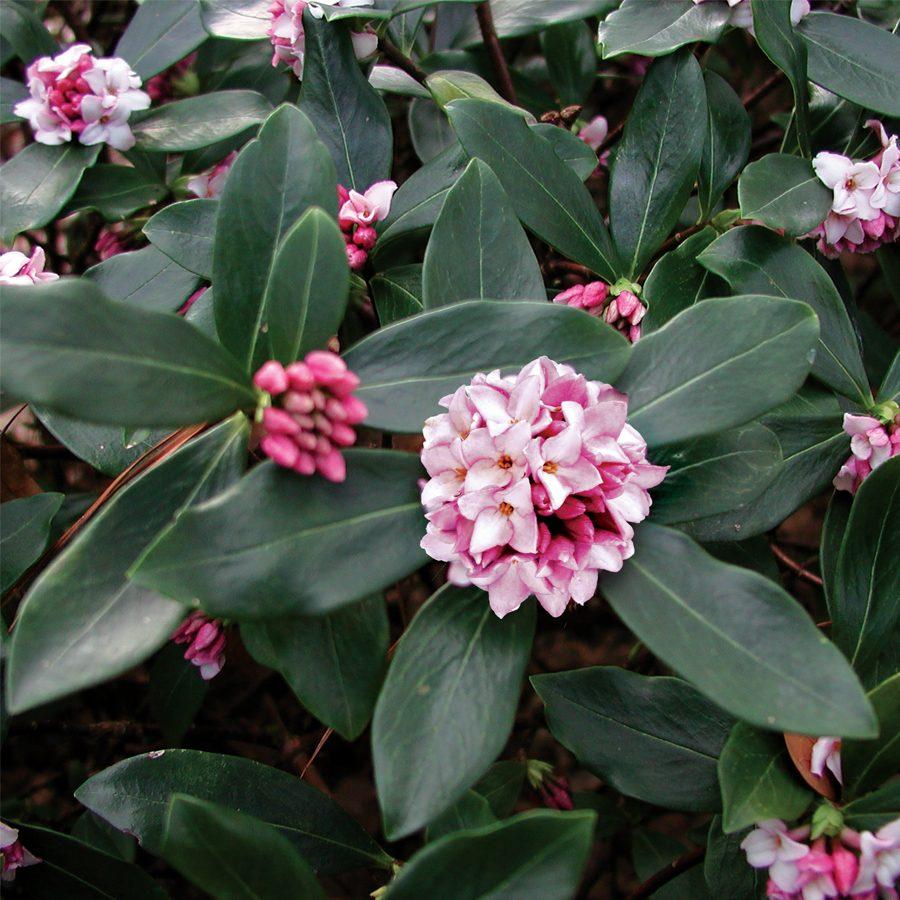 Daphne shrub