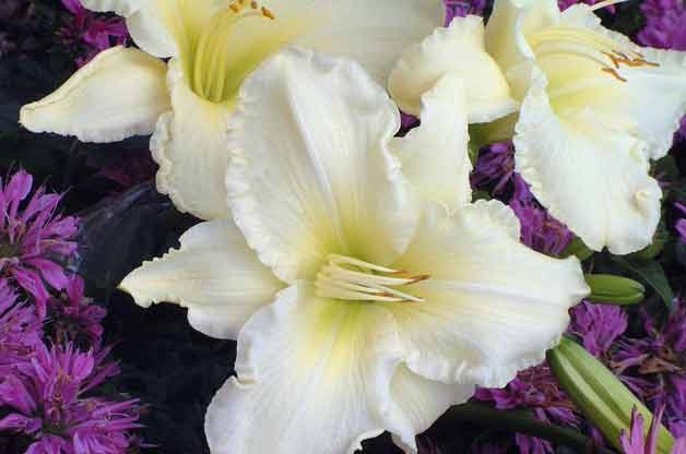 Top 10 Plants for Clay Soil: Daylily