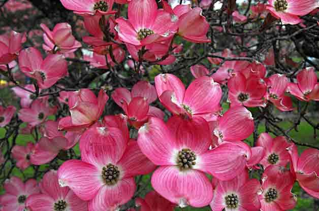 Japanese Flowering Cherries From UK Specialists | Order - Chris Bowers