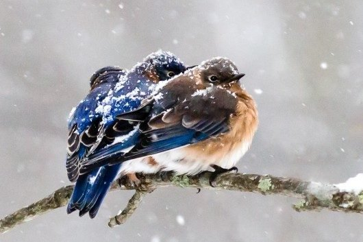 Eastern-Bluebirds-in-the-Snow-530x353