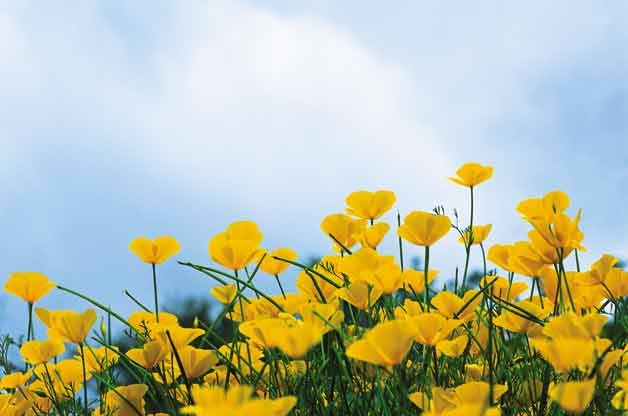 Top 10 Plants for Sandy Soil: California Poppy