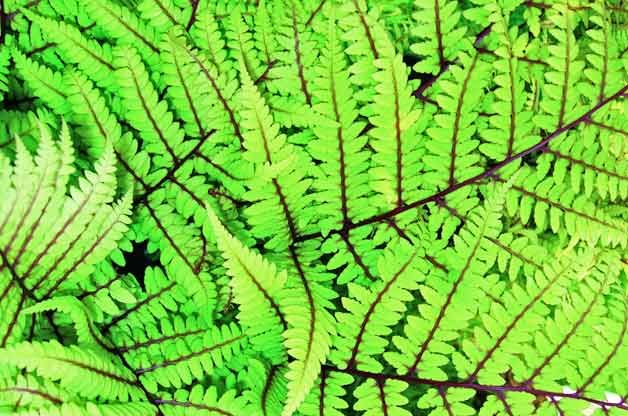 Top 10 Plants for Clay Soil: Fern