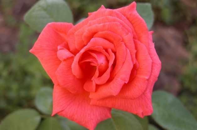 Roses Tropicana