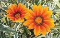 Top 10 Plants for Sandy Soil: Gazania