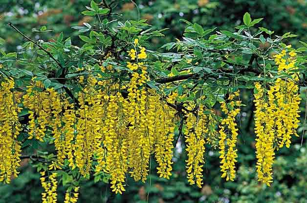 Flowering Trees for Your Backyard: Golden Chain Tree