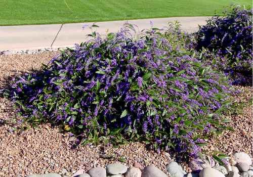 Hardenbergia as groundcover